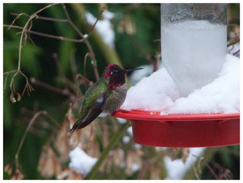 Anna 's Hummingbird In Snow