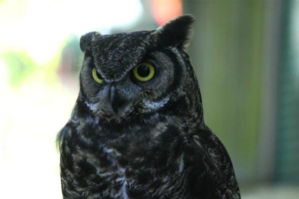 Shea - Page 2 Owl