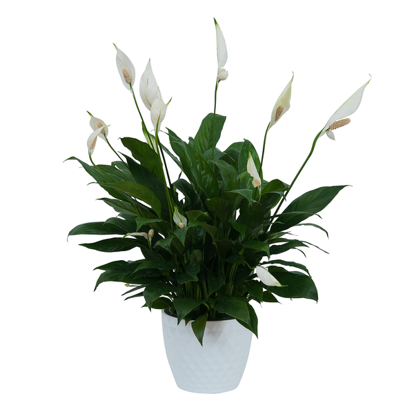Peace Lily Plant Ceramic Container