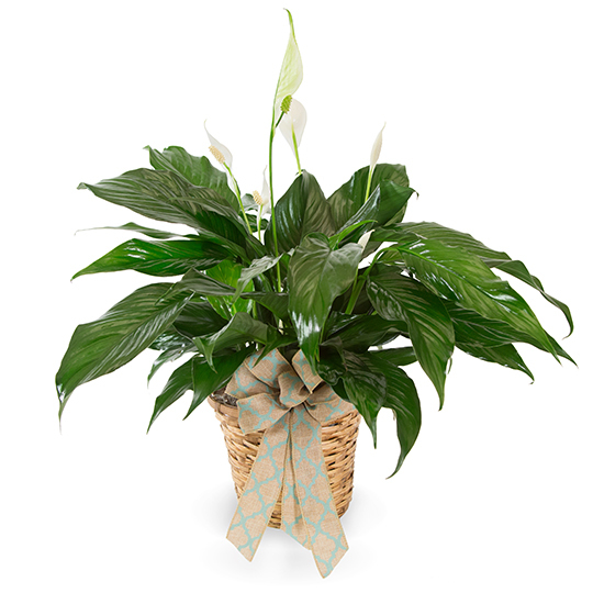 Small Spathiphyllum