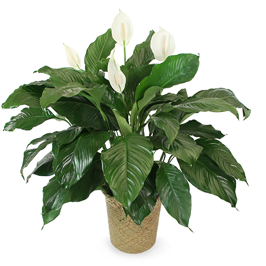 Large Spathiphyllum