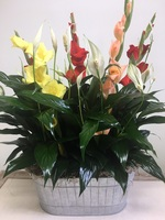 Peace Lily and Blooms