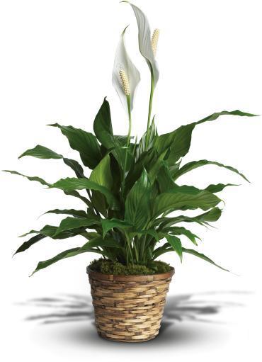 Small Spathiphyllum