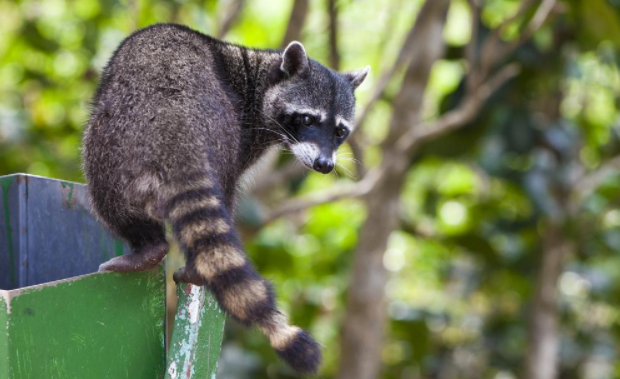 How to deal with racoons while housesitting