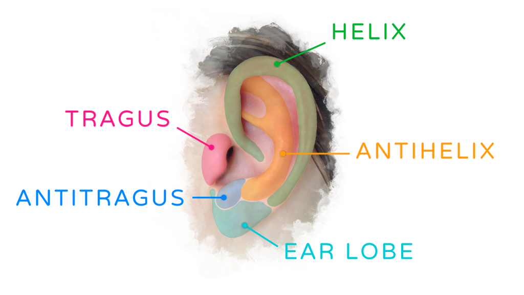 traditional_sculpting_ear-tutorial_ear_diagram