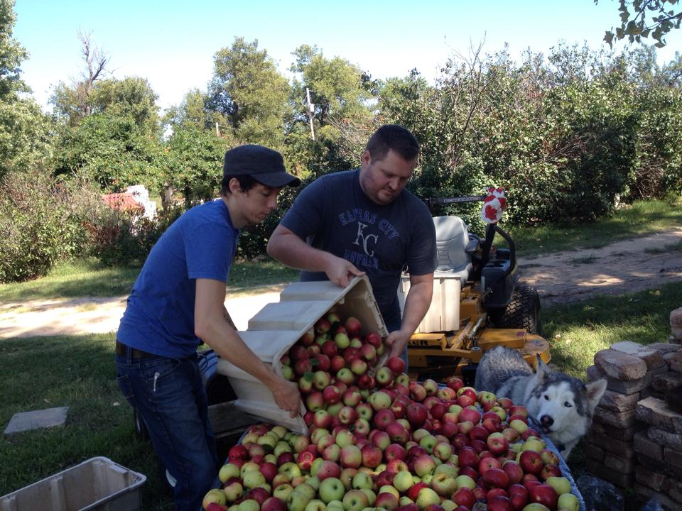 It takes a lot of apples to make cider: Jonathan working at the family orchard.