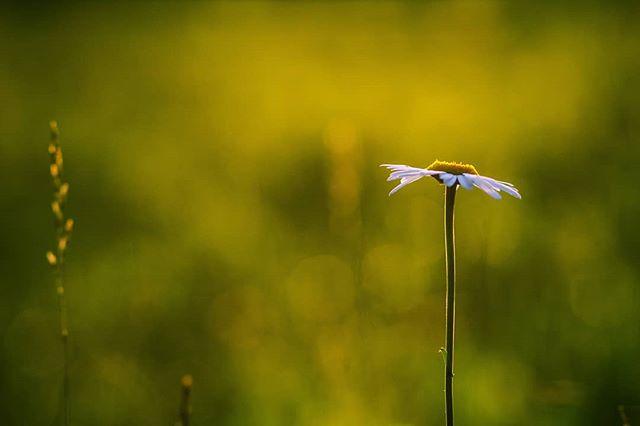 thebeginning summer start photographer newyear naturephoto nature latvian latvia inspiration green fotopiezimes flower daisy canon bokeh