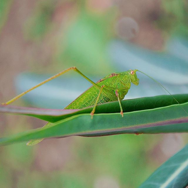 top_macro grasshopper macrophotography macro instadaily nikon instapic igdaily insectagram green insects igers life insect_perfection insectlovers ig_macro ig_captures insect insectphotography nikonphotography nature