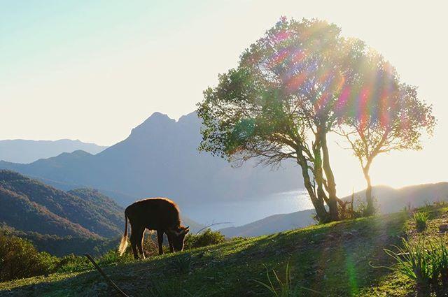 vanlife cow outsideisfree coastline wanderlustnaturecontest corsica mountains snacktime skyline grazing