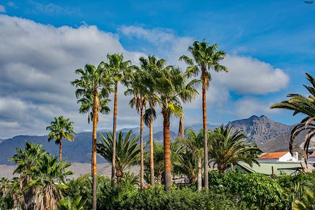 palmtrees vacation tropic nikond3400📸 tenerife trips travelerslifestyle sunnydays tropicalclimate palmphotographer amazingwether nikon mountainsbackground traveling palms nikonphotography tropicalview