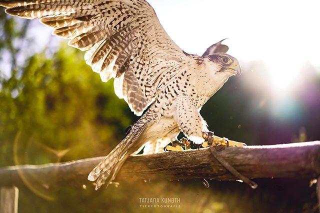 ichhabnvogel tierfotografinmünchen vogel tierfotografieinmünchen animalphotography vollmondnacht buntfalke falke natgeo vogelfrei tierfotografie falknerei tatjanakunath falcon birdyphotography falconphotography falkenfotoshoot nachsonnenuntergang illovemyjob