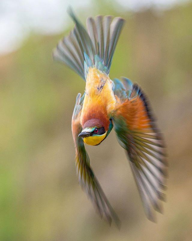 photooftheday photography olympuskameras nuts_about_birds birdwatching birds_private birds_adored birdphotography birdphoto bird_of_instagram bird_brilliance bird best_birds_of_ig beeeater