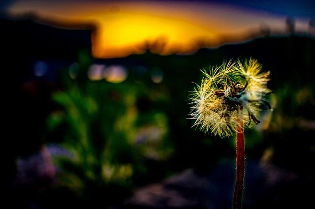 sunset sunlight sun spring sky photography photographer orange nikonphotography nikond3400 nikon naturephotography nature macrophotography macro landscape grass flowers flower dandelions dandelion closeup close blue