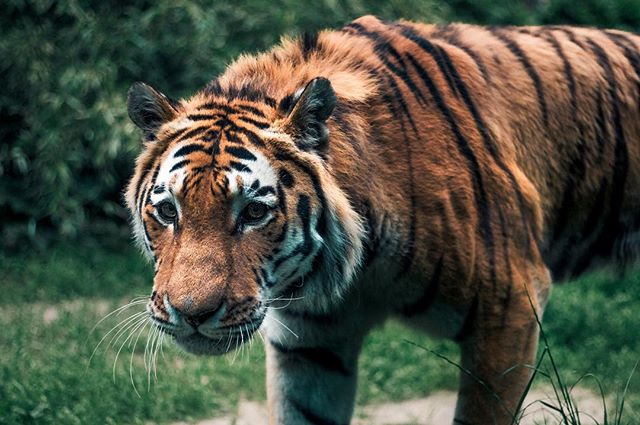 tiger stripes siberiantiger siberiancat siberian portraitphotography portrait naturephotography nature laslo dierenrijk beast animalphotography animal