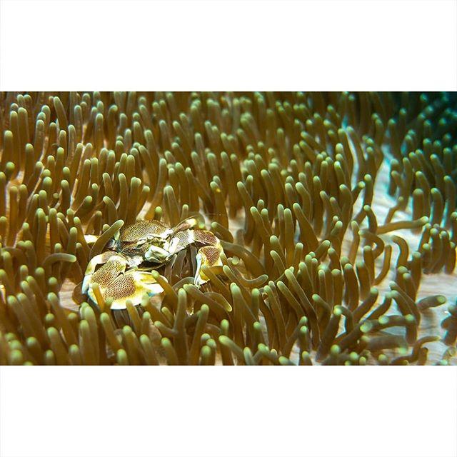 wildlife_shots wildlifephotography wildlife watercolor underwater_world_ underwaterphotography underwater sea scubaworld scubasphere scuba peek officialmaldives ocean nemo maldives lumixgx8 indianoceanview fisheye findingnemo divingphoto diving crab blue baaatoll animaleye anemonenfisch anemonefish anemone