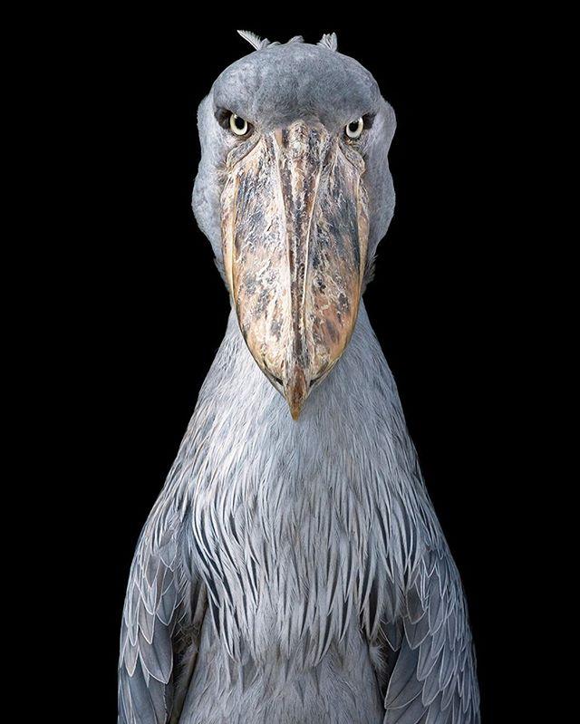 bird timflach portrait conservation endangered shoebill photography wildlife