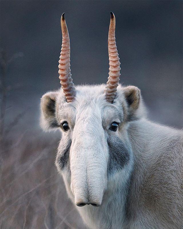 conservation saiga endangered antelope wildlife starwars wild zsl nature timflach critical photography