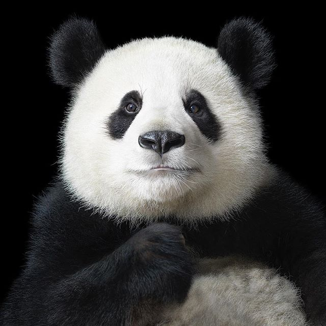 panda animals broncolor hasselblad endangered timflach wildlife photography china elegant