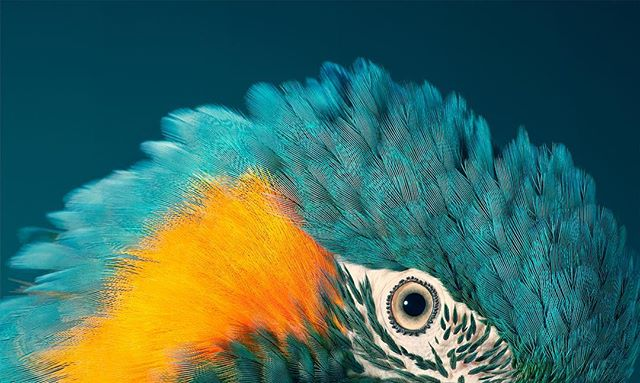 portrait timflach endangered macaw texture canonuk photography bluethroatedmacaw closeup studio animal bird broncolor