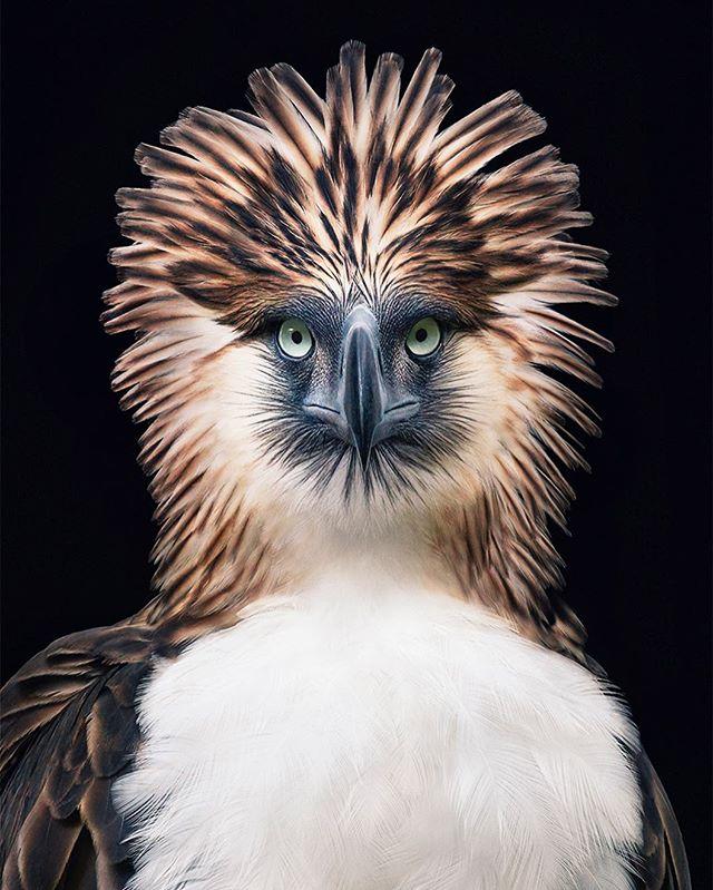philippineeagle wildlife canonuk timflach bird endangered photography eagle iucn