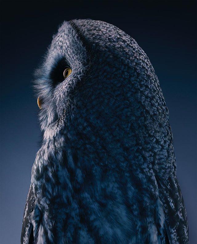 bird timflach twilight photography wildlife studio broncolor greatgreyowl owl hasselblad hunter birdofprey nationalbirdday
