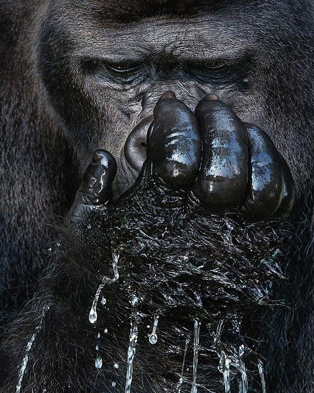 primate gorilla wildlife beautyinnature timflach explore greatape canon gabon photography adventure wonderlust