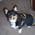 Corgi batman