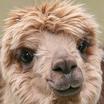 Alpacaaw