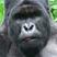 Gorilla pic