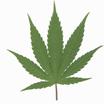 Marijuana leaf pic
