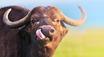 Base buffalo
