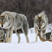 Gray wolves norway 1920x1200