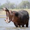 Hippo 03