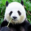 Panda02 451x451