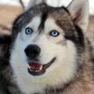 1200 93445521 portrait of a huskies