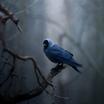 Nature bird lonely blue feather black beak tree branches dark forests winter season  1920x1080