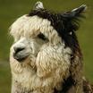 Alpaca headshot