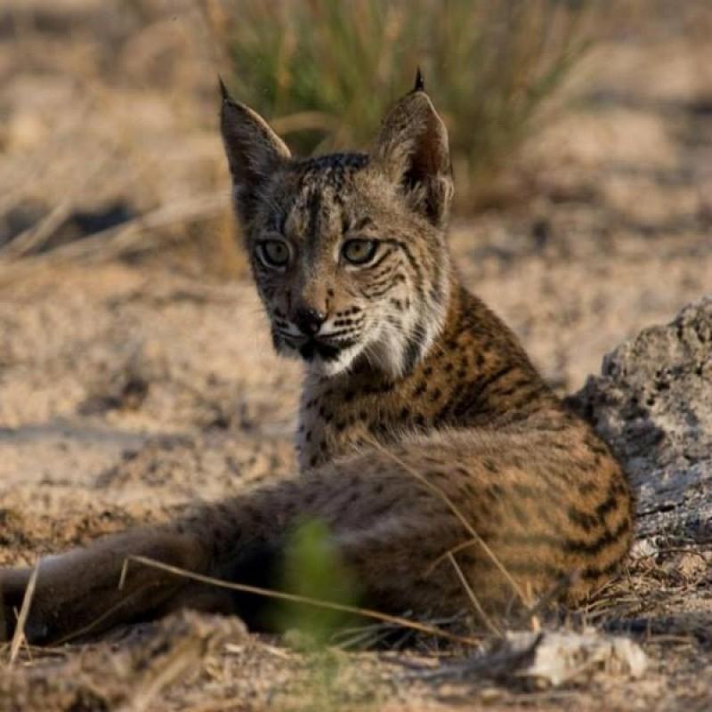4-Night Iberian Lynx Experience for 2