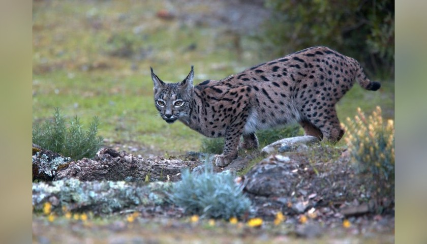 4-Night Iberian Lynx Experience for 2