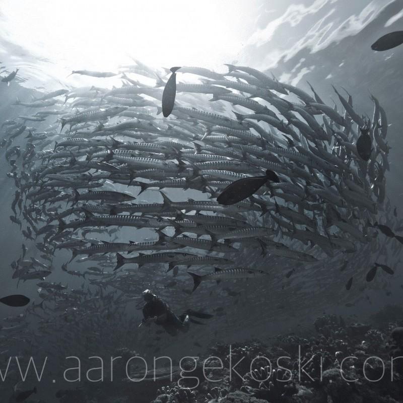 """Diver with Barracuda"" Framed Print by Aaron ""Bertie"" Gekoski"