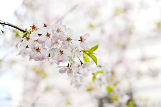 Branch of white flowers