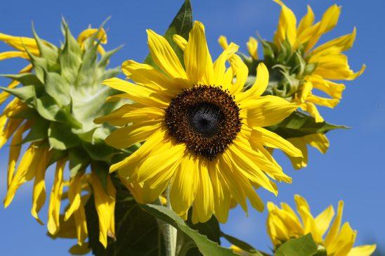 Brightful sunflower