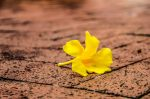Fallen yellow hibiscus