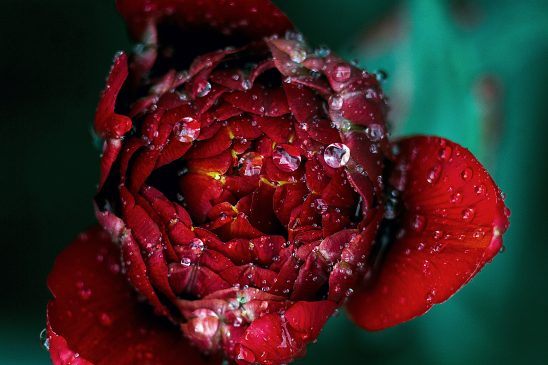 Red watery flower