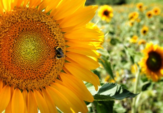 The bee in a sunflower