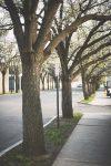 Trees along the sidewalk