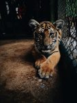 Tiger at the cage