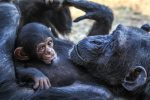 Mother ape gives feed to her child