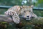 The young cheetah