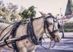 A horse in the caritela